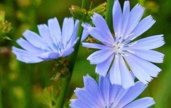 Čakanka obyčajná – cichorium intybus